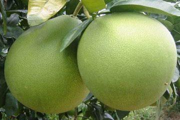 Chữa trị đau bụng ăn không tiêu bằng quả bưởi