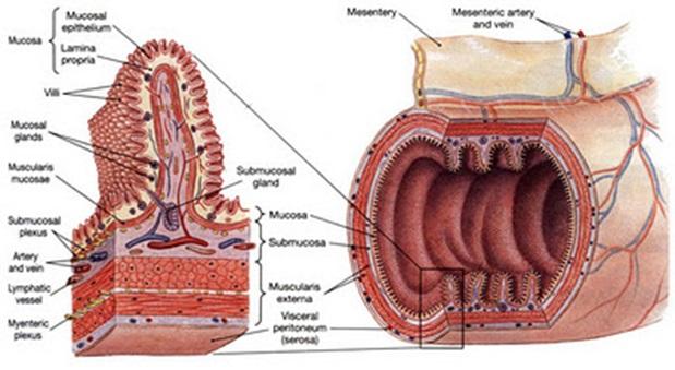 Viêm đại tràng, nên chữa từ gốc hay ngọn? 1