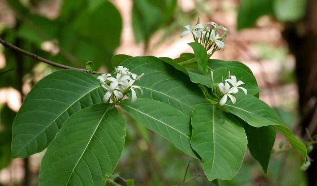 Cây mộc hoa trắng 1